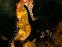 Hippocampus histrix - Ambon - Indonesië